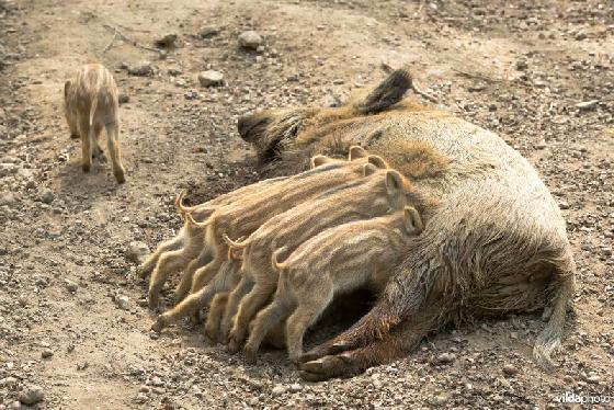 afschot 6000 wilde zwijnen Veluwe
