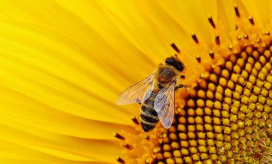 neonicotinoïden bedreigen bijen