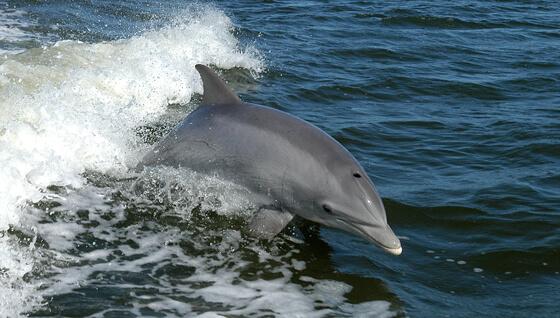 Dolfijnenschedel