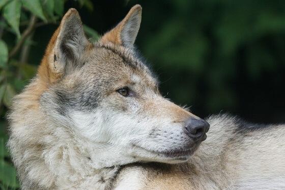 wolf doodgeschoten