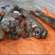 Vijf dode tijgers in vriezer aangetroffen