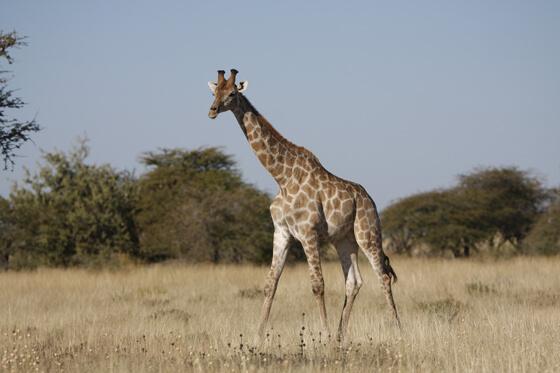giraffe bedreigde diersoorten