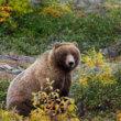 Pleit voor verbod op trofeejacht grizzlyberen in Brits-Columbia