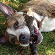 Bert van Straten: Hond verdedigt zich tegen agressieve eigenaar, man delft onderspit