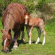 Ingezonden brief: Besmettelijke paardenziekte Zuid-Limburg