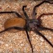 Nieuwe spinnensoort ontdekt in Mexico
