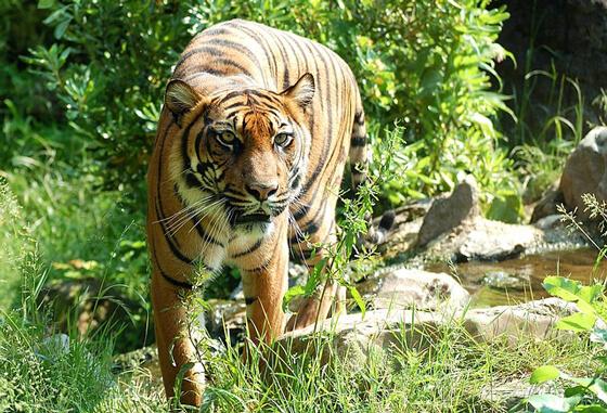 tijger in werelderfgoedgebieden