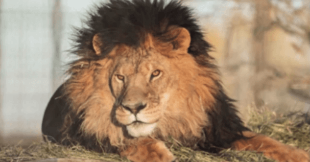 euthanaseren leeuwen