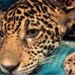 GNvdD: Jonge jaguar gered met 18 kogels in lichaam