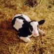 Karen's blog: Kalfje weg bij koe beter voor dierenwelzijn
