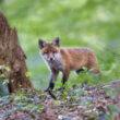 Zesjarig meisje wil op vossen jagen met haar vader