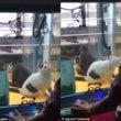 Doodsbange katten als prijs in grijpmachine (video)