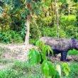 Nog maar twee gezonde Sumatraanse neushoorns in Maleisië