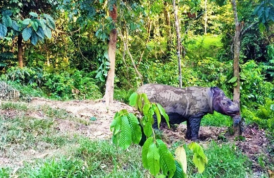 Sumatraanse neushoorns