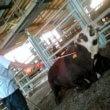 Idaho herintroduceert verbod undercoveropnames vee-industrie