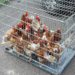 Beloning van 250 euro voor tip die naar kippendumper(s) leidt!