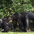 #GNvdD: 60 ex-laboratorium chimpansees van zorg verzekerd