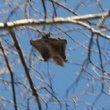 Nieuw soort vliegende eekhoorn ontdekt