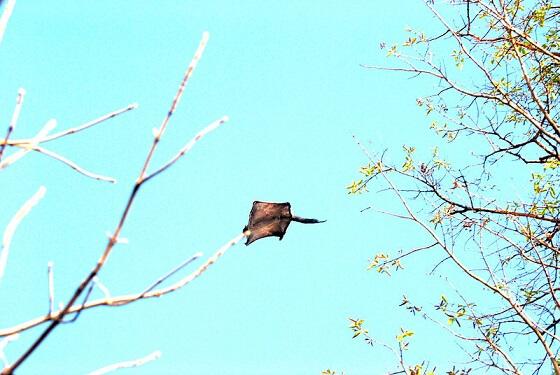 vliegende eekhoorn