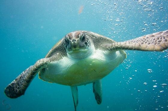beschermde zeeschildpad