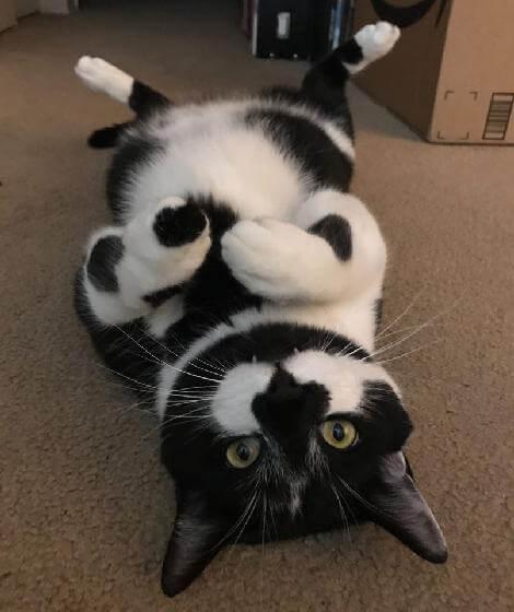 speelse kat