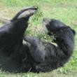 #GNvdD: 9 beren gered van een galberenboerderij