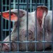 Miljoenen dieren in veehouderij gaan te vroeg dood