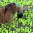 #GNvdD: Verlamde hond krijgt laarzen en kan weer lopen (video)