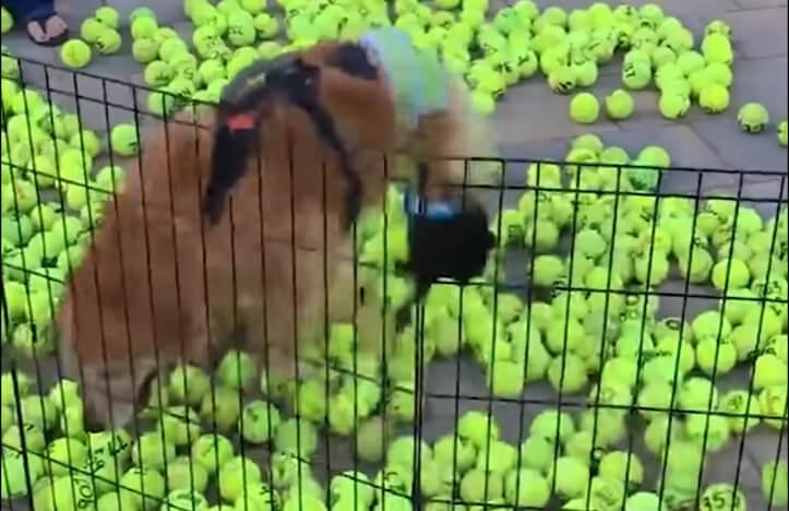 verlamde hond