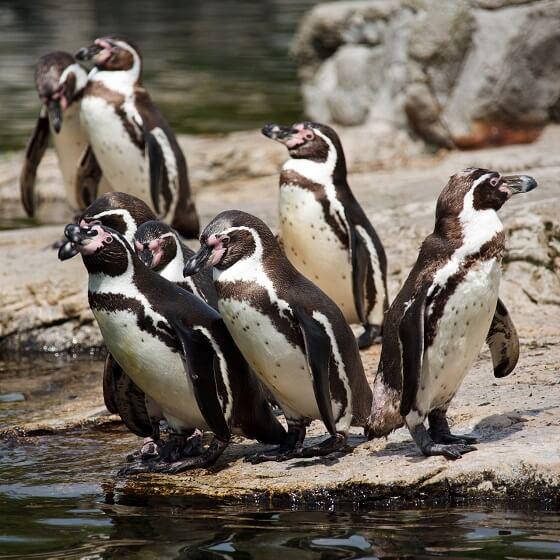 Humboldtpinguïns
