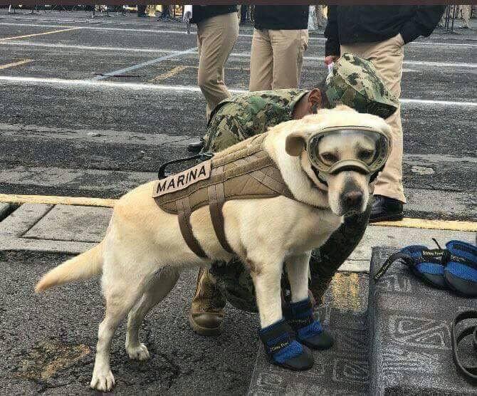 Labrador Frida