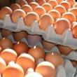 Eieren grootste oorzaak van kanker bij miljoenen kippen