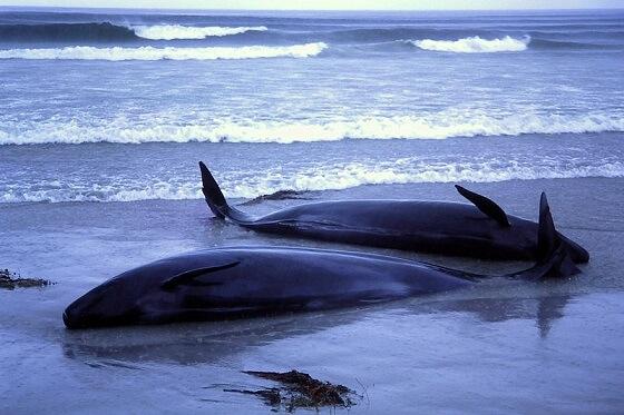 stranding walvissen