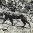 Rangers spotten mogelijk uitgestorven Javaanse tijger op Java