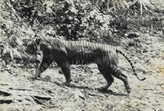 Javaanse tijger