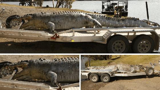 grootste krokodil van Australië