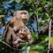 Rouwende makaak draagt gemummificeerde dochter wekenlang mee