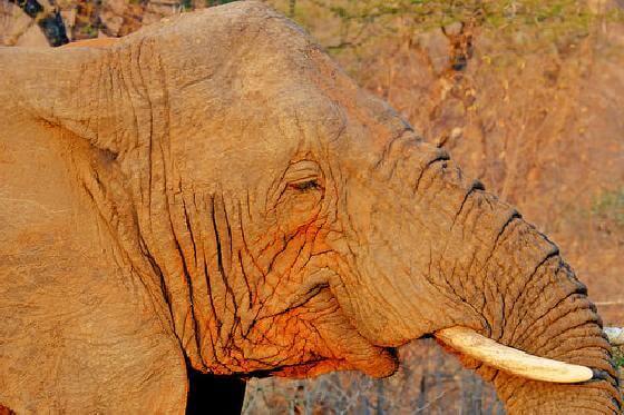 recordhoeveelheid ivoor