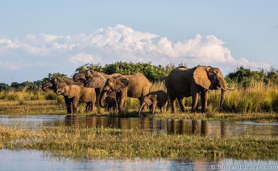 vergiftigde olifanten