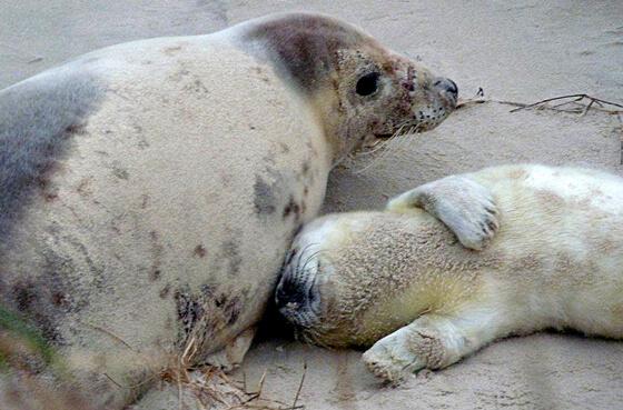 Moeder zeehond en jong