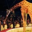 Engeland verbiedt wilde dieren in circussen