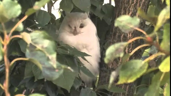 Albino ransuil