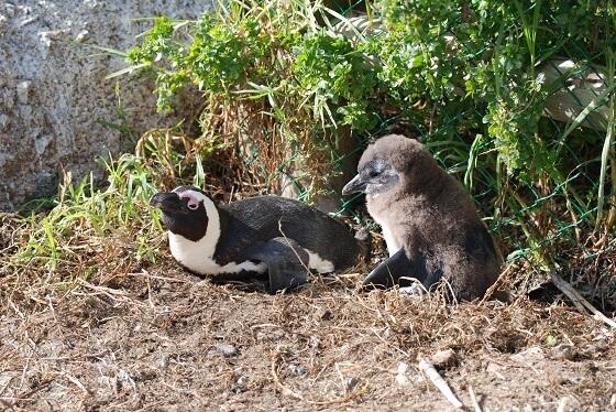 pinguïnpopulatie