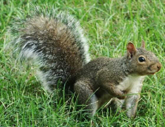rode eekhoorns