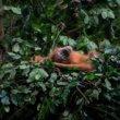 Lush Black Friday-actie voor orang-oetans: Weg is weg