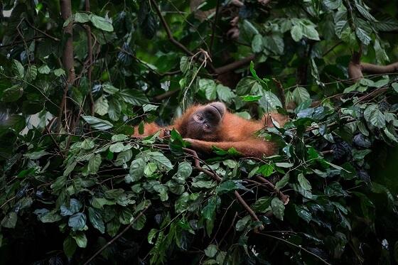 148.500 Borneose orang-oetans in 16 jaar verdwenen