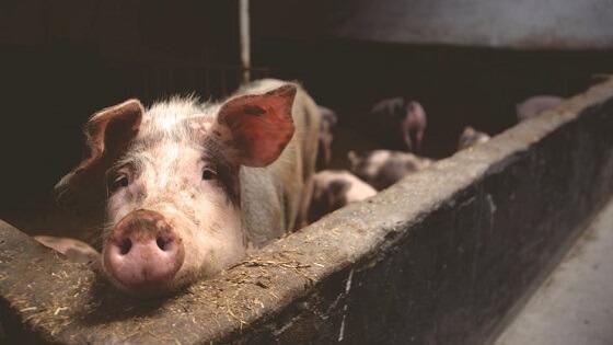 horrorbeelden uit Nederlandse varkensindustrie