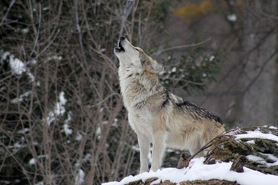 grootschalige wolvenjacht