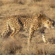 Aziatische cheetah