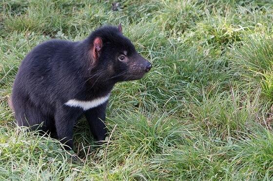 Tasmaanse duivel